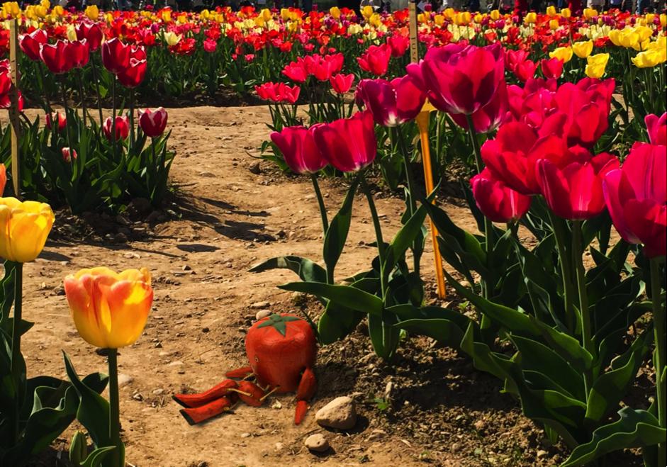 Tulipani italiani – un'occasione da cogliere al volo