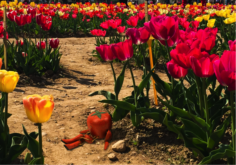 pomodoro tulipani